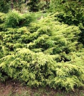 Juniperus x media 'Golden Saucer', Можжевельник средний 'Голден Саусэр'