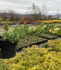 Juniperus chinensis 'Expansa Variegata' Можжевельник китайский в горшке 2л..