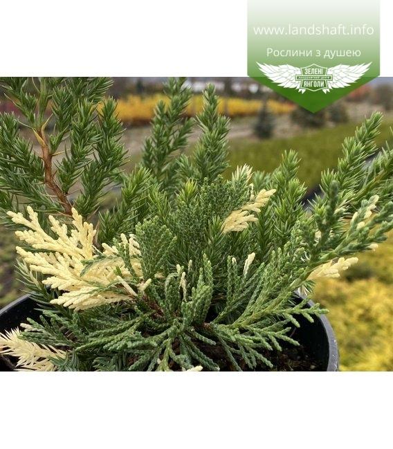 Juniperus chinensis 'Expansa Variegata', Ялівець китайський 'Експанса Варієгата' хвоя рослини.