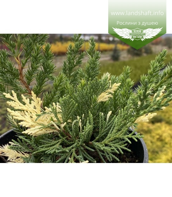 Juniperus chinensis 'Expansa Variegata' Можжевельник китайский хвоя растения.