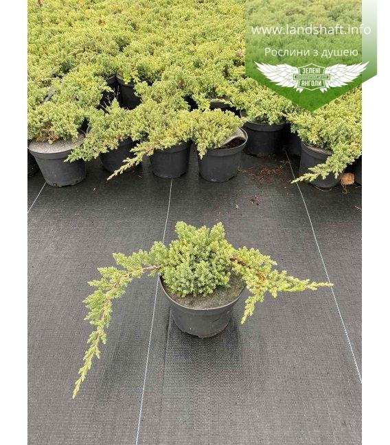 Juniperus procumbens 'Nana' Можжевельник лежачий в горшке 2л.