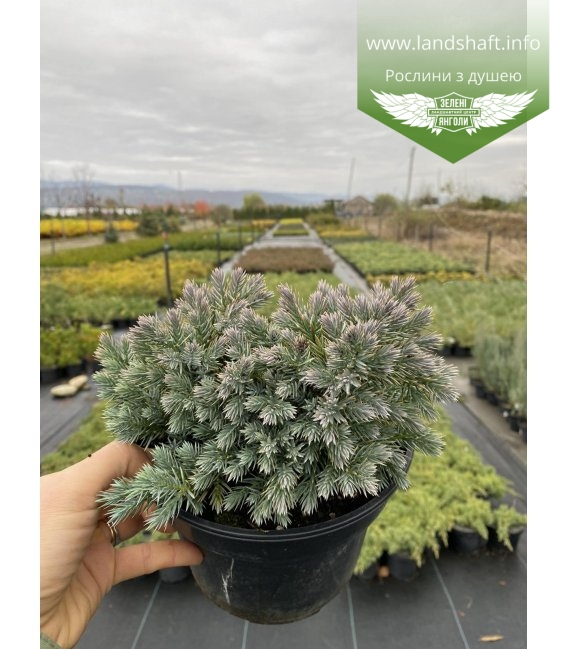 Juniperus squamata 'Blue Star', Ялівець лускатий 'Блу Стар' з розсадника.