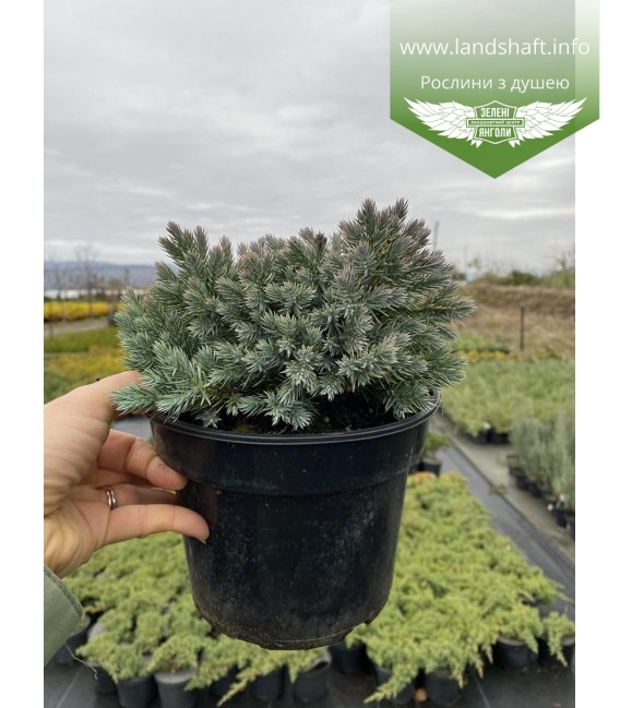 Juniperus Squamata 'Blue Star' Можжевельник чешуйчатый в горшке 2л.