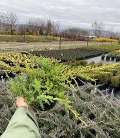 Juniperus x media 'Gold Kissen', Ялівець середній 'Голд Кіссен' в горщику 2л.