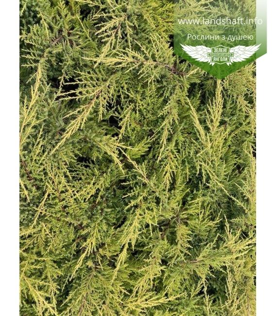 Juniperus x pfitzeriana 'Goldkissen' Можжевельник Пфитцера.