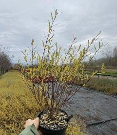 Верба purpurea 'Nana', Верба пурпурова 'Нана' восени.