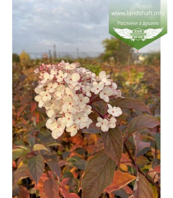 Hydrangea paniculata 'Vanille Fraise', Гортензія волотиста 'Ванілле Фрайз' восени.