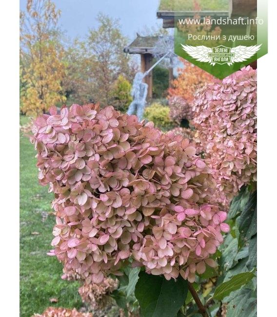Hydrangea paniculata 'Limelight', Гортензія волотиста 'Лаймлайт' восени
