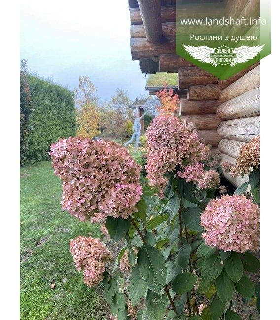 Hydrangea paniculata 'Limelight', Гортензія волотиста 'Лаймлайт' в саду.