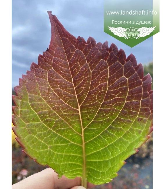 Hydrangea macrophylla 'Bela', Гортензия крупнолистная 'Бела' листья растения осенью.