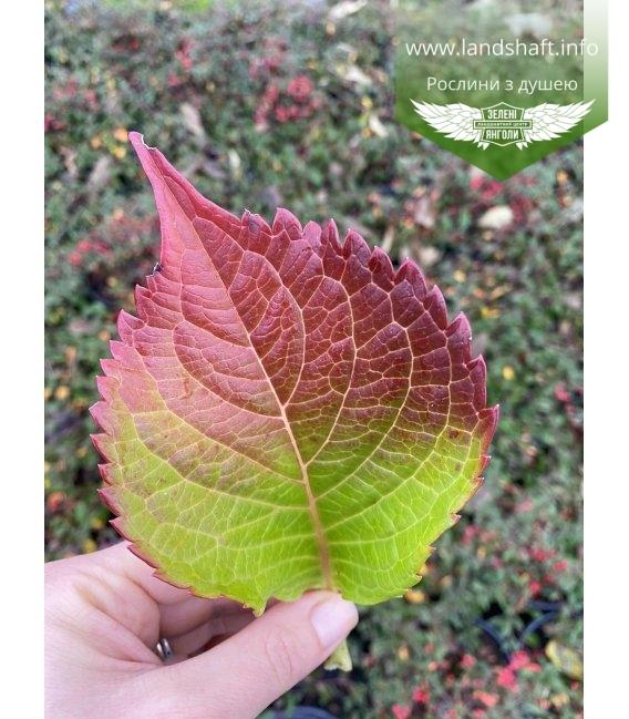 Hydrangea macrophylla 'Leuchtfeuer' Гортензия крупнолистная листья растения осенью.