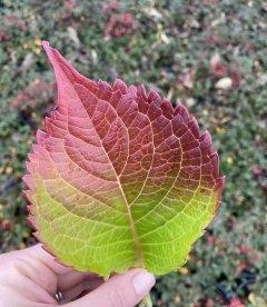Hydrangea macrophylla 'Leuchtfeuer', Гортензія крупнолиста 'Лойтфоєр' листя рослини восени.