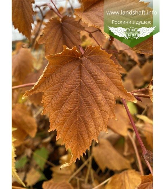 Stephanandra Tanakae, Стефанандра Танакі яскраве листя.