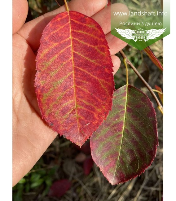 Amelanchier lamarckii, Ірга Ламарка листя рослини восени.