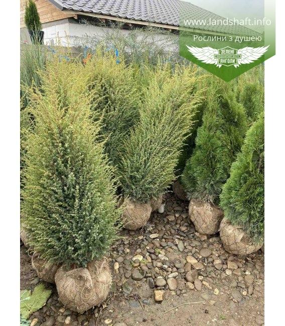 Можжевельник обыкновенный Голд Кон выкапные растения