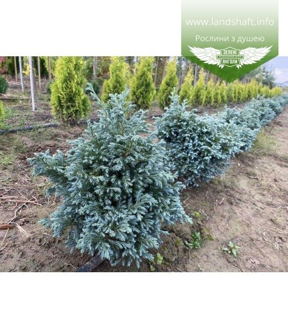 Chamaecyparis pisifera 'Boulevard' Кипарисовик горохоплодный с корневым комом WRB.