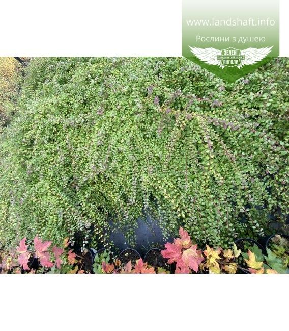 Symphoricarpos chenaultii 'Hancock', Сніжноягідник Шено 'Хенкок' рослини для масових посадок.