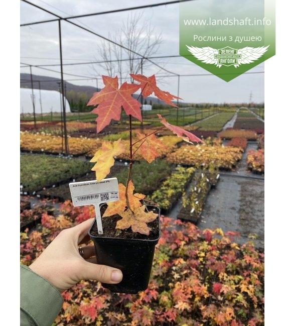 Acer truncatum, Клен усічений з розсадника
