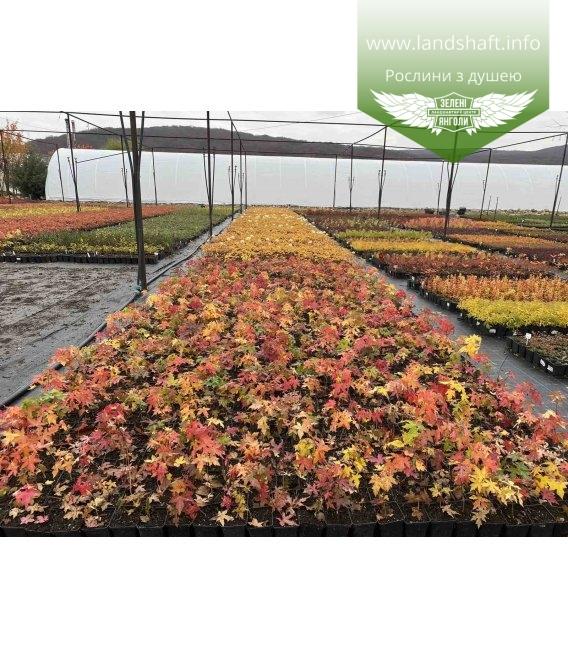 Acer truncatum, Клен усічений з розсадника з доставкою по Україні