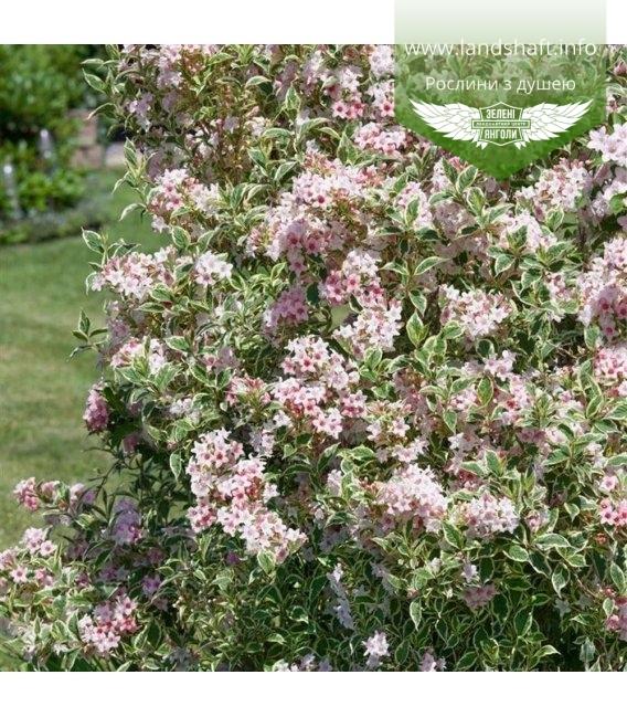Weigela florida 'Variegata' Вейгела цветущая