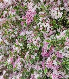 Weigela florida 'Variegata', Вейгела цветущая 'Вариегата'