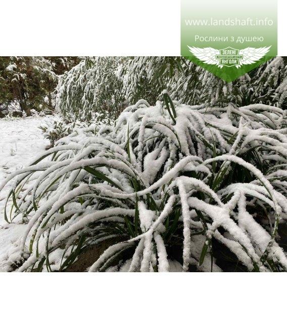 Carex pendula, Осока повисла взимку.