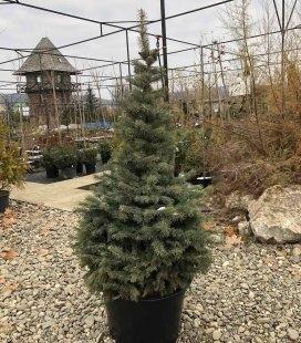 Picea pungens 'Glauca', Ель колючая 'Глаука'