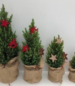 Picea glauca 'Daisy's White', Ель канадская 'Дейзи Уайт'