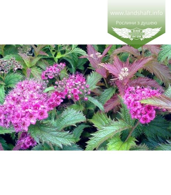 Spiraea japonica 'Crispa', Спірея японська 'Кріспа'