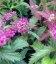 Spiraea japonica 'Crispa', Спирея японская 'Криспа'