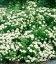 Spiraea betulifolia, Спирея березолистная