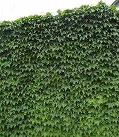 Parthenocissus tricuspidata 'Veitchii', Девичий виноград триостренный Вича
