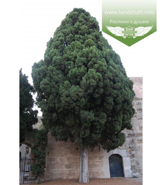 Cupressus sempervirens, Кипарис вічнозелений