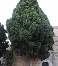 Cupressus sempervirens Кипарис вечнозеленый