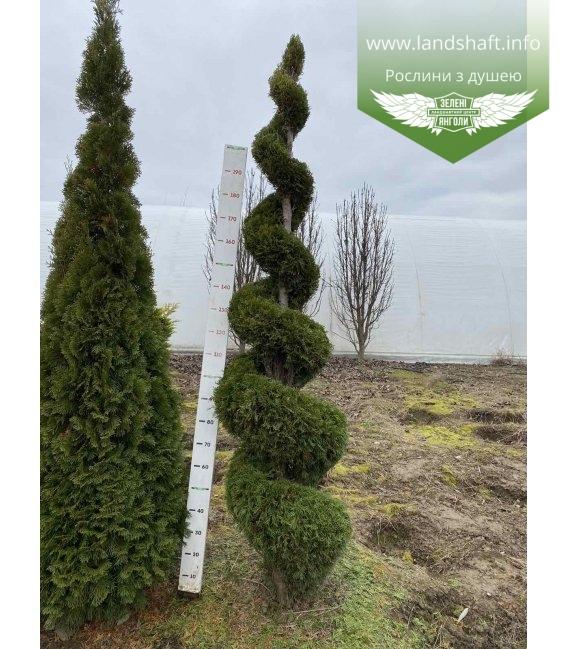 Thuja occidentalis 'Smaragd' (спираль) Туя западная