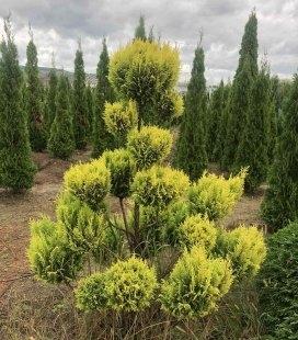 Chamaecyparis 'Plumosa Aurea' Form, Кипарисовик 'Плюмоза Ауреа' Формований