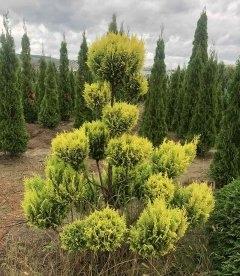 Chamaecyparis 'Plumosa Aurea' Form, Кипарисовик 'Плюмоза Ауреа' Формированный