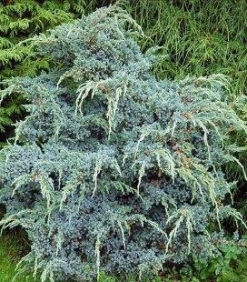 Juniperus chinensis 'Blue Alps', Можжевельник китайский 'Блу Альпс'
