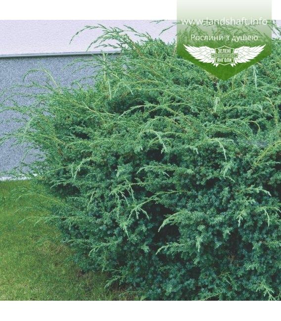 Juniperus chinensis 'Blue Alps' Можжевельник китайский