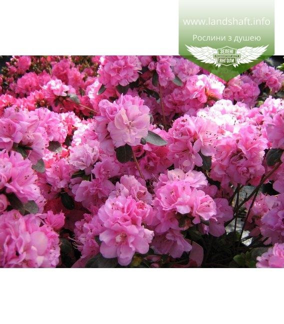 Azalea japonica 'Rosinetta', Азалія японська 'Росінетта'