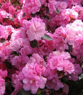 Azalea japonica 'Rosinetta', Азалия японская 'Росинета'