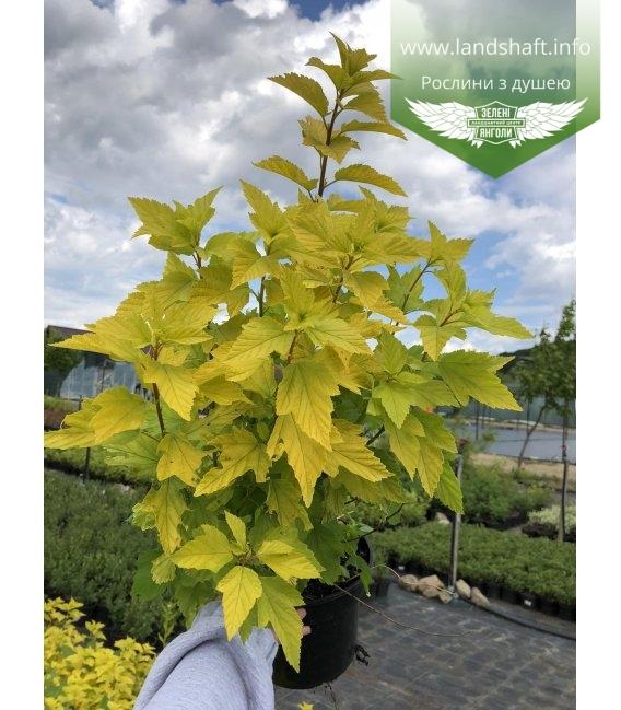 Physocarpus opulifolius 'Luteus', Пухироплідник калинолистий 'Лютеус'