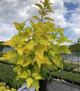Physocarpus opulifolius 'Luteus', Пузыреплодник калинолистный 'Лютеус'