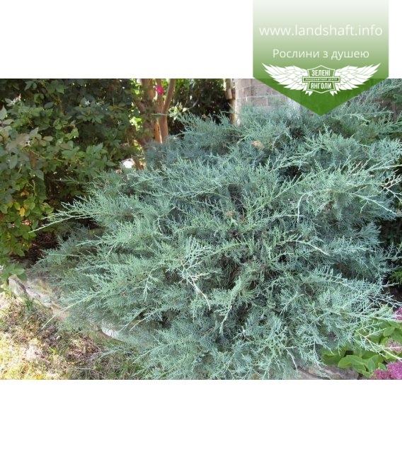 Juniperus virginiana 'Grey Owl', Ялівець віргінський 'Грей Овл' в ландшафті
