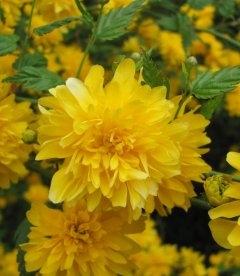 Kerria japonica 'Pleniflora', Керрия японская 'Пленифлора'