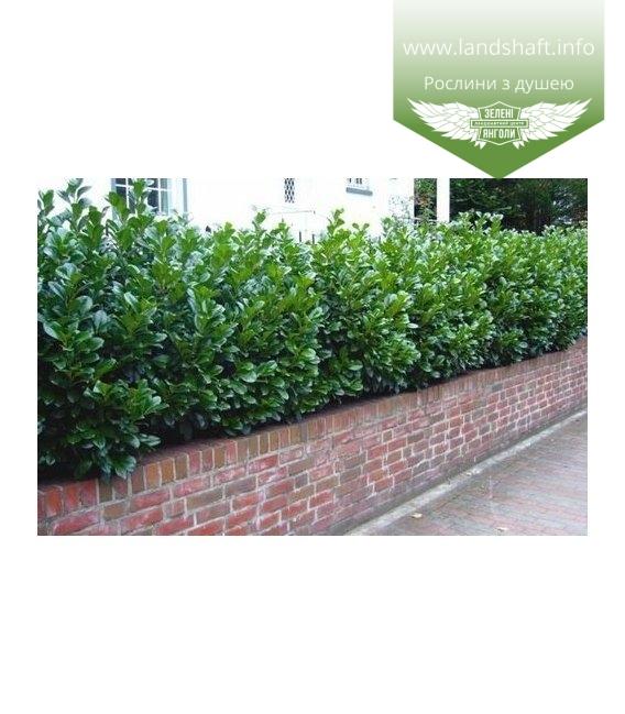 Prunus laurocerasus 'Novita', Лавровишня 'Новита'