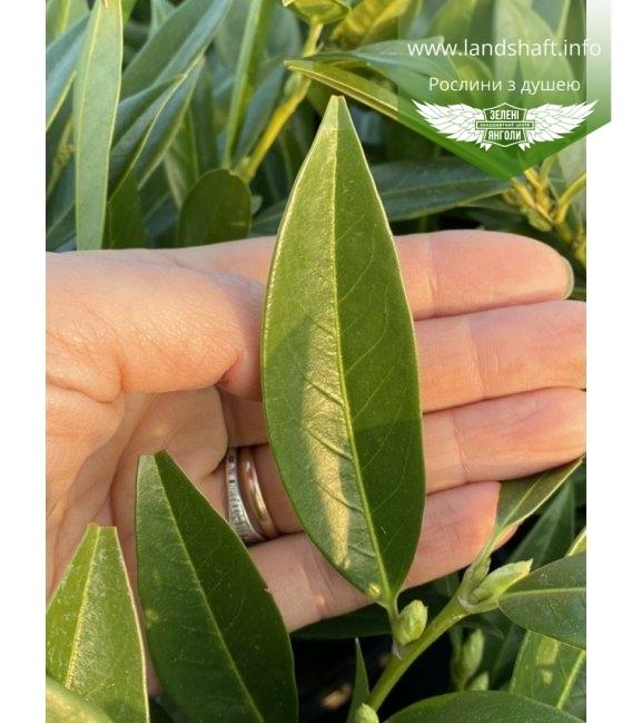 Prunus laurocerasus 'Otto Luyken', Лавровишня 'Отто Люкен'