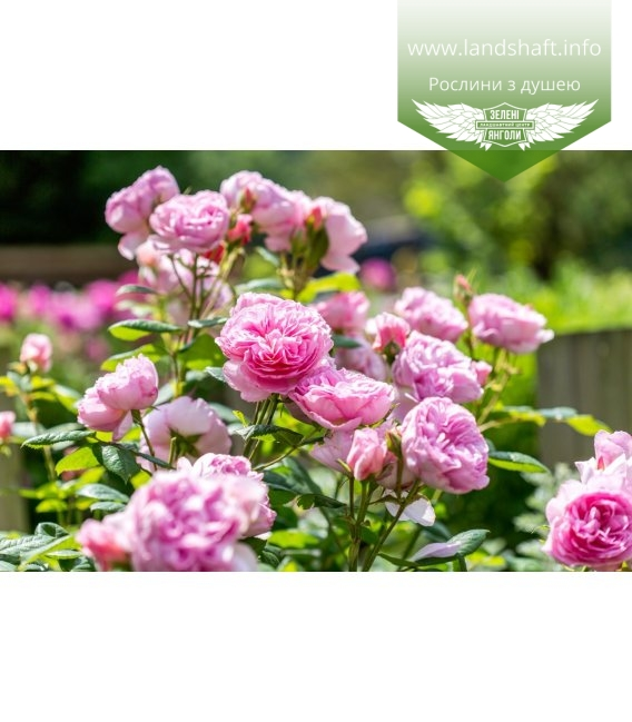Rosa 'The Ancient Mariner', Троянда англійська 'Зе Еншент Марінер'