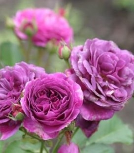 Rosa 'Minerva', Троянда флорібунда 'Мінерва'