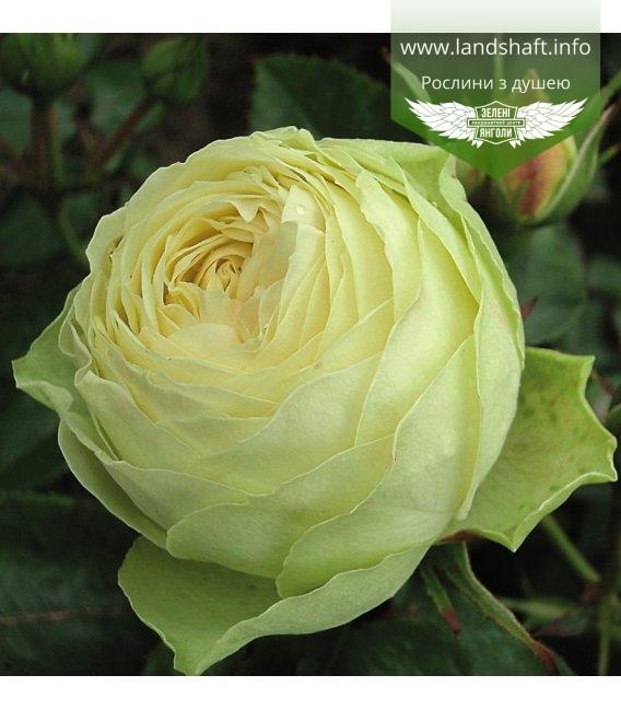 Rosa 'Lemon Rokoko', Троянда флорібунда 'Лемон Рококо'